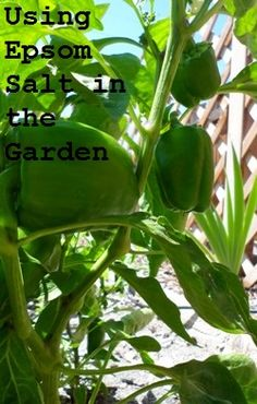 Epsom salt can be used as a natural fertilizer in the garden. Used in a spray-on solution, it helps fight magnesium deficiency in tomatoes and bell peppers and promotes vegetable growth.