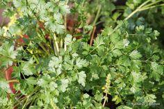 Flat leaf Italian parsley... Parsley, Herbs, Gardening, Leaves, Flat, Balconies, Bass, Lawn And Garden, Herb