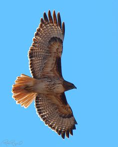 Red-Tailed Hawks in Flight Raptor Bird Of Prey, Birds Of Prey, Flying Birds, Hawk Wings, Falcon Hawk, Hawk Feathers, Hawk Tattoo, Hawk Photos, Red Tailed Hawk