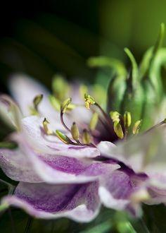 Nigella damascena 'Love in the mist'