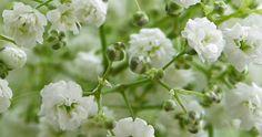 Ficha de la Gypsophila paniculata