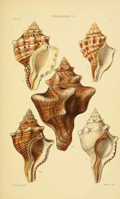 5 plates - Thesaurus conchyliorum, or, Monographs of genera of shells / - Biodiversity Heritage Library Photo Wall Collage, Collage Art, Vintage Prints, Vintage Art, Shell Tattoos, Fauna Marina, Painted Shells, Antique Illustration, Polychromos