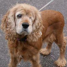 Petfinder  Adoptable   Dog   English Cocker Spaniel   Ashtabula, OH   Molly