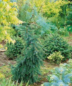 Spice up your landscape with a spruce! This Bruns Serbian Spruce is not shaped like any ordinary spruce! Its thin, pyramidal structure is perfect for small spaces! Follow the link to learn more! #gardening #spuce #smallspaces Best Trees For Privacy, Privacy Trees, Serbian Spruce, Fast Growing Trees, Container Size, Large Plants, Early Spring, Simple Elegance, Hedges