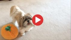 Videos Archives - Shih Tzu Buzz Small Puppy Breeds, Small Puppies, Small Breed, Toy Shih Tzu, Shih Tzu Puppy, Halloween Pumpkins, Fur Babies, Toys, Effort