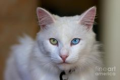 Two color eyes Photograph