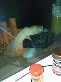 Oscar Fish, Freshwater Fish, Fresh Water, Animals, Food, Pisces, Animales, Animaux, Essen