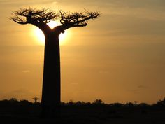 Путешествие на Мадагаскар ч6. Морондава. Аллея Баобабов.   Bobrya.com