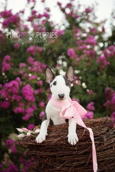 Miniature Bull Terrier                                                                                                                                                      More