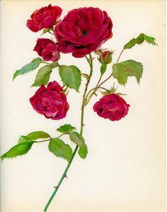 Vintage Rose Print, Red Climbing Rose, Botanical Print 131, Natural History, 1966, Kaplicka, Country Cottage Decor