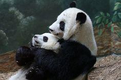 Lun Lun & Mei Lun - 07/06/14 - Panda Hug | Flickr - Photo Sharing!