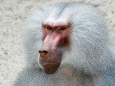 BABOON GLOSSY POSTER PICTURE PHOTO monkey ape chimp gorilla decor wall hang 404