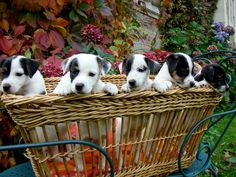 Our adorable Jack Russells  #france