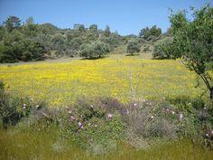 Asgata, Myrofores Flowers of  Cyprus