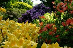 Mixed Rhododendrons