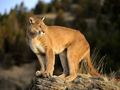 Buzzing: Girl 4 Survives Attack After Being Dragged from Family's Campsite in Idaho by Mountain Lion: Report Coyote Trapping, Wolves Fighting, American Lion, Deer Species, 4 Year Old Girl, Bull Moose, Wild Kratts, Wild Wolf, Mountain Lion