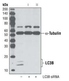 #3868 LC3B (D11) XP® Rabbit mAb | CST抗体 | Western blot analysis of extracts from HeLa cells, transfected with 100 nM SignalSilence® Control siRNA (Unconjugated) #6568 (-), SignalSilence® LC3B siRNA I #6212 (+) or SignalSilence® LC3B siRNA II #6213 (+), using LC3B (D11) XP® Rabbit mAb #3868 and α-Tubulin (11H10) Rabbit mAb #2125. The LC3B (D11) XP® Rabbit mAb confirms silencing of LC3B expression, while the α-Tubulin (11H10) Rabbit mAb is used to control for loading and specificity of LC3B…
