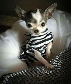 Ahh Chihuahua! ! #Chihuahua