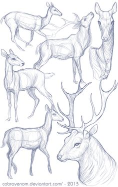 Study: Deer by CobraVenom.deviantart.com on @DeviantArt
