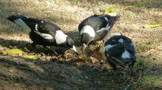 A family of Australian magpies at play. #wildlife #Australia #travel #Sydney