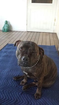 Harley says How you going?.. Luv my staffies