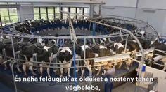 """Kegyetlen, """"élet""""-hosszat tartó állatkínzás eredménye, hogy Te, tehéntejet ihatsz. Legyél Te is VEGA, és mentsd meg ezeket a szegény állatokat a szenvedéstől! KÉRLEK. http://www.harmonet.hu/szepseg-egeszseg/19363-vega-elet:-miert-olcsobb-a-novenyi-etrend.html"""
