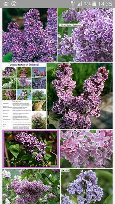 Syringa vulgaris 'Sensation' H: 2,5-4m B 1,25-1,75m Blütezeit: Mai Licht: Sonne