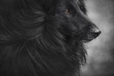 Pastor Belga - hermoso y noble mascota - Fine art photographer | Pet Photographer | Pet Portraits | Melbourne