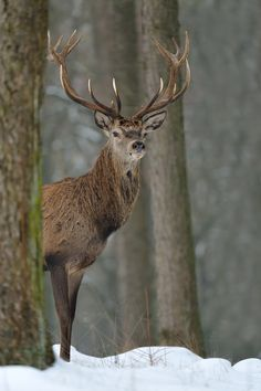 Red Deer, Netherlands