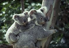 This adorable koala bear wall mural by National geographic features a sweet scene of a mother and baby koala in the forest. Climbing up a tree trunk, this cute koala duo will captivate the whole room. Baby Koala, Lone Pine Koala Sanctuary, Bear Pictures, Cute Funny Animals, Animal Kingdom, Mammals, Baby Animals, Animal Babies, Wild Animals