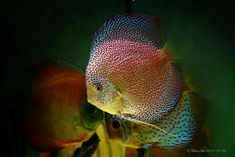 Photo gallery of Discus fish - Live Tropical Fish - Live Tropical Fish Discus Aquarium, Discus Fish, Freshwater Aquarium, Aquariums, Fish Gallery, Birthday Wishes And Images, Angel Fish, Beautiful Fish, Fish Art