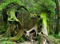 Lovers' Trees in Alishan, Taiwan... Breathtakingly beautiful!