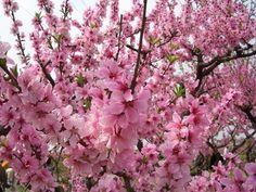 Image result for peach blossom flower