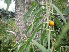 4b9b8d272 Gumby gumby tree 20-30cm tall - pittosporum angustifolium -- MEDICINAL PLANT
