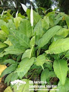 S060103Spathiphyllum Cannifolium