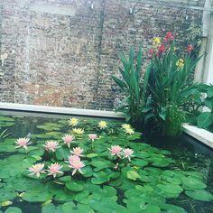 Stunning water lilies at Syon