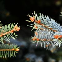 Pine Bough Pair