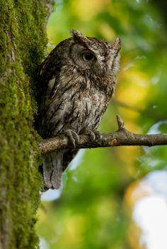Western Screech Owl (adult) by Ken Shults