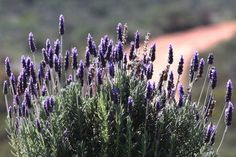 Let Nature Help With Garden Pests French Lavender, Lavender Blue, Lavender Flowers, Blue Flowers, Feeding Bees, Long Stem Flowers, Lavandula Angustifolia, Garden Pests, Hedges