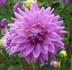 Image from http://www.dahliadivas.com/shop/images/WortonBlueStreak_10.jpg.