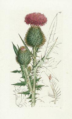 James Sowerby. English Botany. Botanical Prints 1791 Spear Thistle