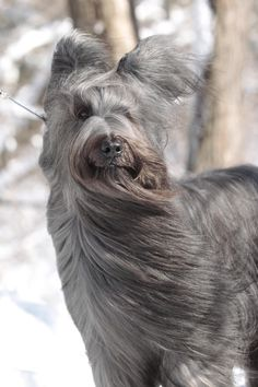 Briard, Thunder in NYC