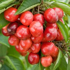 Cherry 'Cherokee' - A very popular dessert cherry. Produces large dark red fruits that are almost black when fully ripe with excellent sweet flavour. Can be grown in wet areas as the fruits are less prone to splitting than other varieties. Very heavy cropping. RHS Perfect for Pollinators Pollination: Self-fertile. Season: mid July.