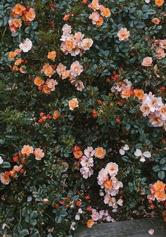 A wall of peachy blooms.