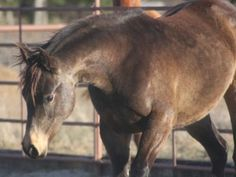 top quality aqha filly gorgeous 1 Top Quality AQHA Filly Gorgeous