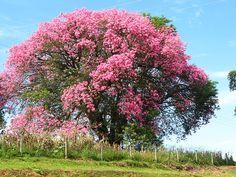 Ceiba speciosa - Floss Silk Tree