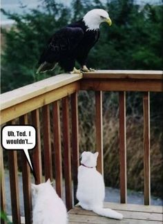 """uh, Ted, I wouldn't..."" 1 smart cat one questionable cat and one badass Bald Eagle. Yeah, I think so too."
