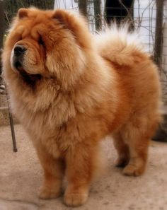 Cute Baby Dogs, Cute Dogs And Puppies, Big Dogs, Doggies, Big Fluffy Dogs, Puppies Tips, Lazy Dog Breeds, Puppy Breeds, Fluffy Dog Breeds