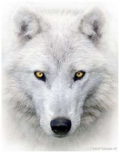 Superbe loup blanc