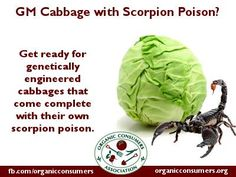 Get ready for genetically engineered cabbages that come complete with their own scorpion poison, just for you to eat. It's touted as requiring less pesticide use and being, of course, completely safe. Close investigation, though, indicates that neither claim is likely true.